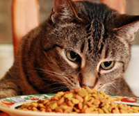 cat with dry kibble