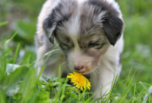 dog smelling dandelion