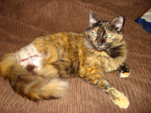 Feline sarcoma removal site